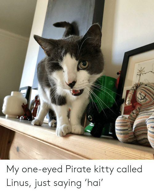 Pirate, One, and Linus: My one-eyed Pirate kitty called Linus, just saying 'hai'