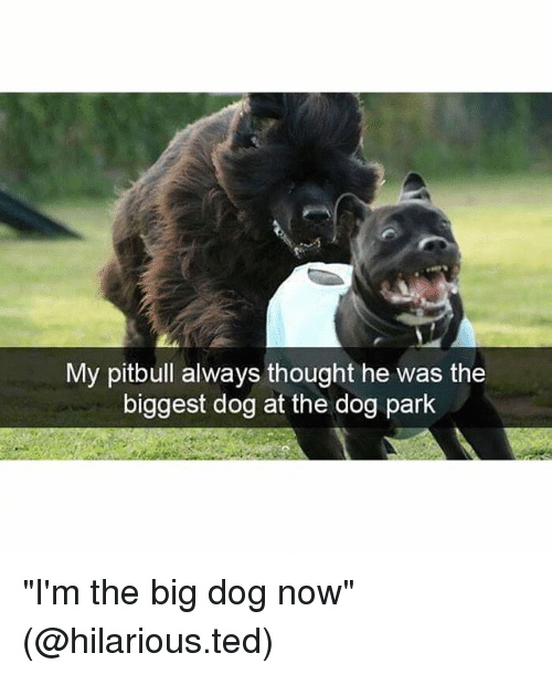 """Funny, Ted, and Pitbull: My pitbull always thought he was the  biggest dog at the dog park """"I'm the big dog now"""" (@hilarious.ted)"""