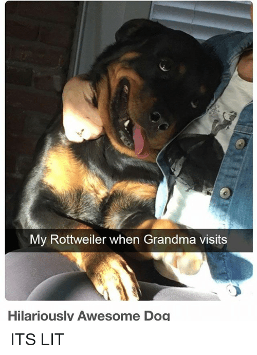 It's lit: My Rottweiler when Grandma visits  Hilariously Awesome Dog ITS LIT