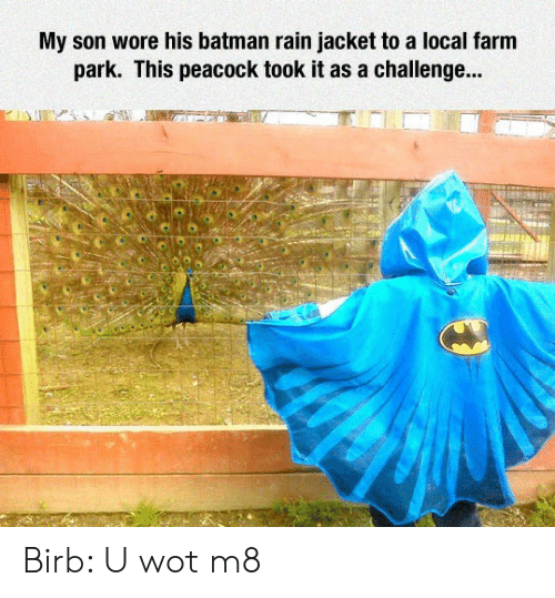 Peacock: My son wore his batman rain jacket to a local farm  park. This peacock took it as a challenge... Birb: U wot m8