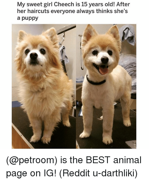 Memes, Reddit, and Animal: My sweet girl Cheech is 15 years old! After  her haircuts everyone always thinks she's  a puppy (@petroom) is the BEST animal page on IG! (Reddit u-darthliki)