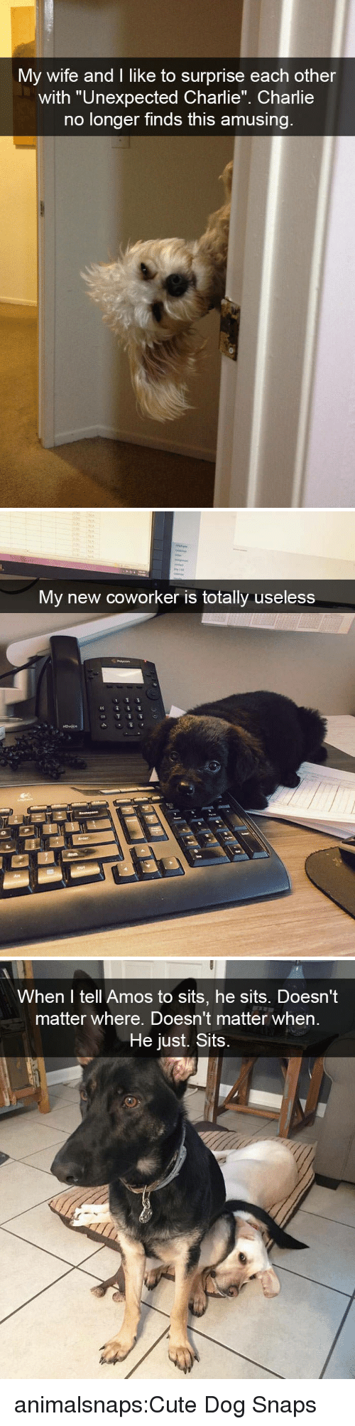 """Charlie, Cute, and Target: My wife and I like to surprise each other  with """"Unexpected Charlie"""" Charlie  no longer finds this amusing   My new coworker is totally useless   When I tell Amos to sits, he sits. Doesn't  matter where. Doesn't matter when  He just. Sits animalsnaps:Cute Dog Snaps"""