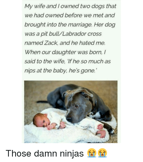 labrador: My wife and I owned two dogs that  we had owned before we met and  brought into the marriage. Her dog  was a pit bull/Labrador cross  named Zack, and he hated me.  When our daughter was born,  said to the wife, 'If he so much as  nips at the baby, he's gone. Those damn ninjas 😭😭
