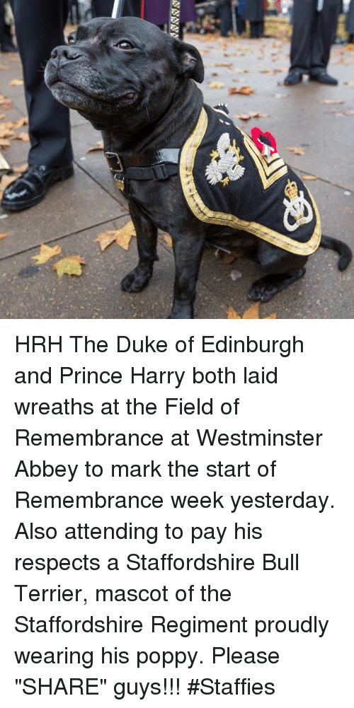"""Poppies: /N HRH The Duke of Edinburgh and Prince Harry both laid wreaths at the Field of Remembrance at Westminster Abbey to mark the start of Remembrance week yesterday. Also attending to pay his respects a Staffordshire Bull Terrier, mascot of the Staffordshire Regiment proudly wearing his poppy. Please """"SHARE"""" guys【ツ】!!! #Staffies"""