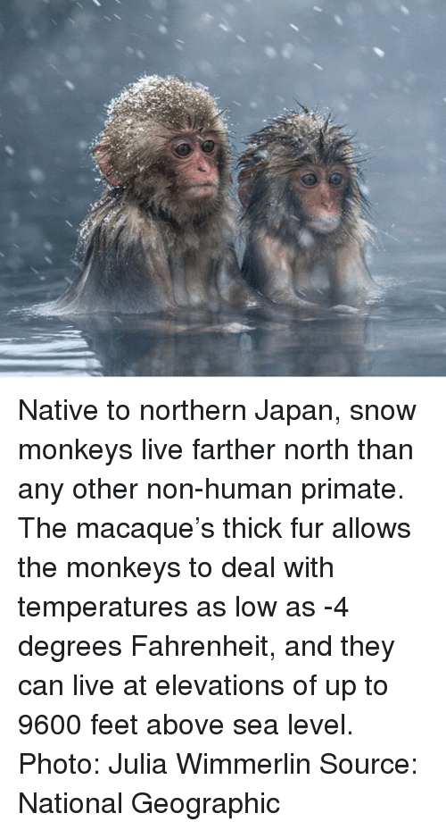 Primatism: Native to northern Japan, snow monkeys live farther north than any other non-human primate. The macaque's thick fur allows the monkeys to deal with temperatures as low as -4 degrees Fahrenheit, and they can live at elevations of up to 9600 feet above sea level. Photo: Julia Wimmerlin Source: National Geographic