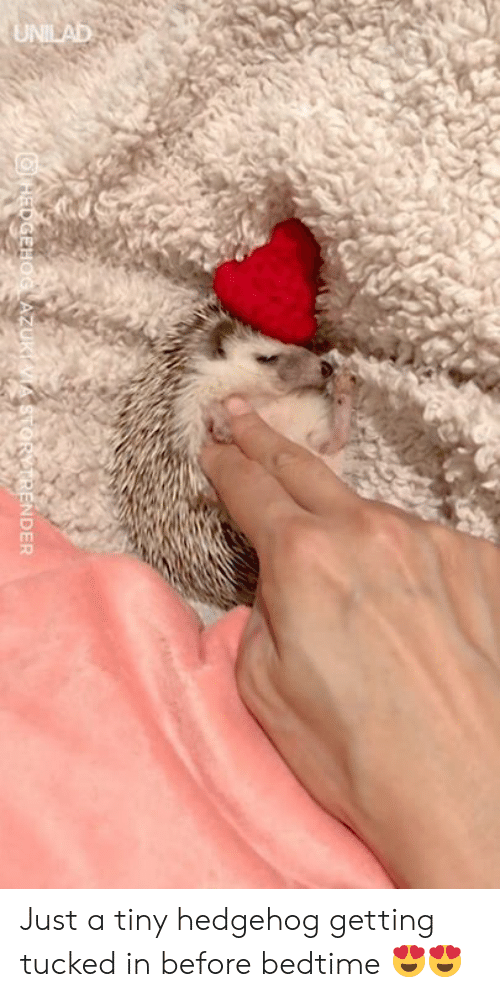Hedgehog: NDER Just a tiny hedgehog getting tucked in before bedtime 😍😍