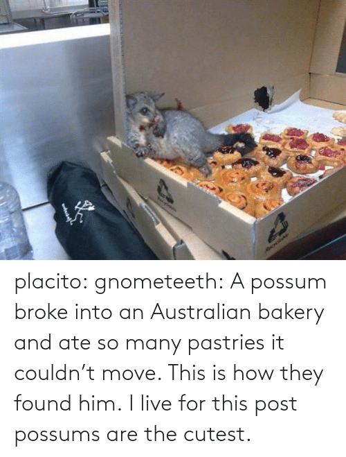 Possums: Necylebia  RecrdaNe placito:  gnometeeth:   A possum broke into an Australian bakery and ate so many pastries it couldn't move. This is how they found him.  I live for this post  possums are the cutest.