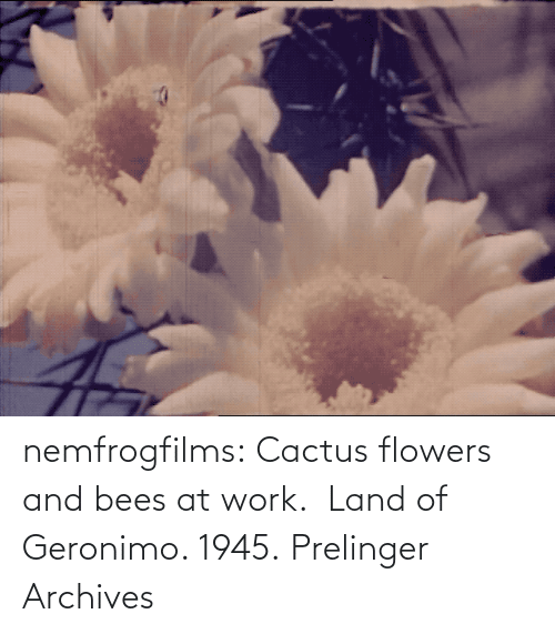 org: nemfrogfilms: Cactus flowers and bees at work.  Land of Geronimo. 1945. Prelinger Archives