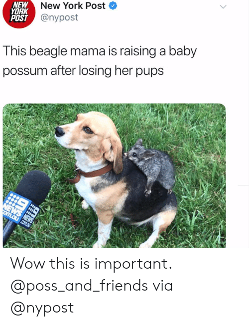 New York Post: New York Post  NEW  YORK  POST @nypost  This beagle mama is raising a baby  possum after losing her pups  NEWS NEWS  omLaucom.au Wow this is important. @poss_and_friends via @nypost