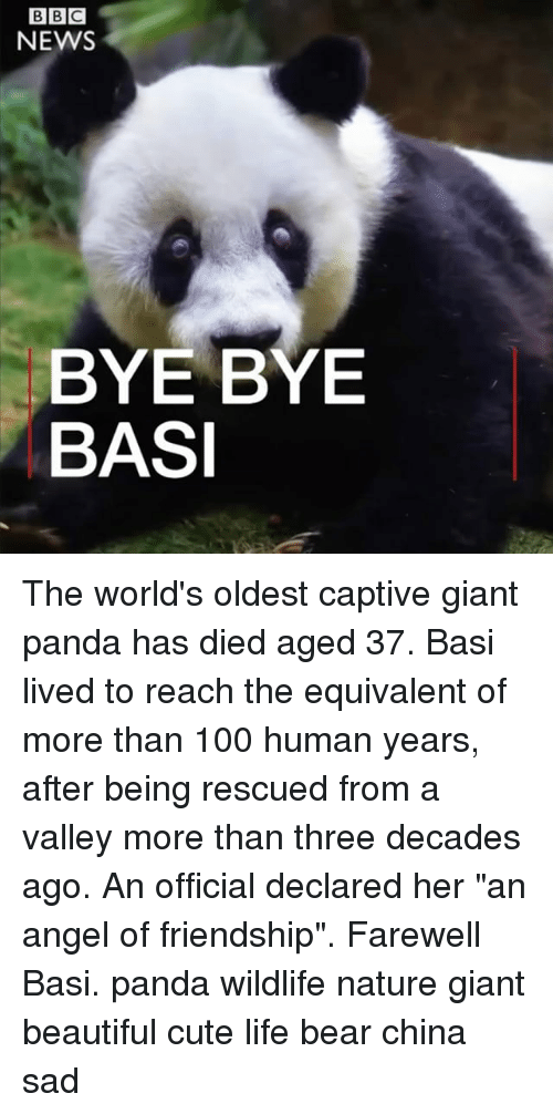 "Angelic: NEWS  BYE BYE  BASI The world's oldest captive giant panda has died aged 37. Basi lived to reach the equivalent of more than 100 human years, after being rescued from a valley more than three decades ago. An official declared her ""an angel of friendship"". Farewell Basi. panda wildlife nature giant beautiful cute life bear china sad"