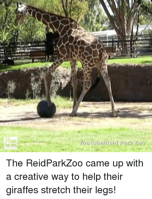 Creativer: NEWS  YouTube Reid Park Zoo The ReidParkZoo came up with a creative way to help their giraffes stretch their legs!