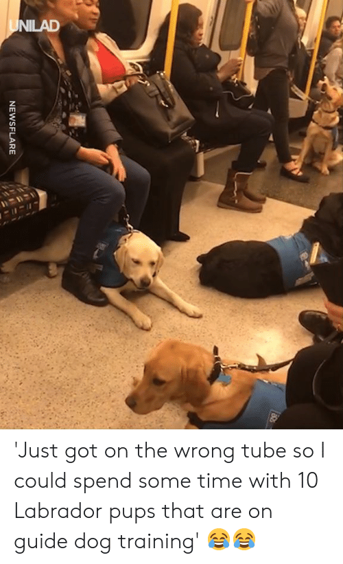 labrador: NEWSFLARE 'Just got on the wrong tube so I could spend some time with 10 Labrador pups that are on guide dog training' 😂😂