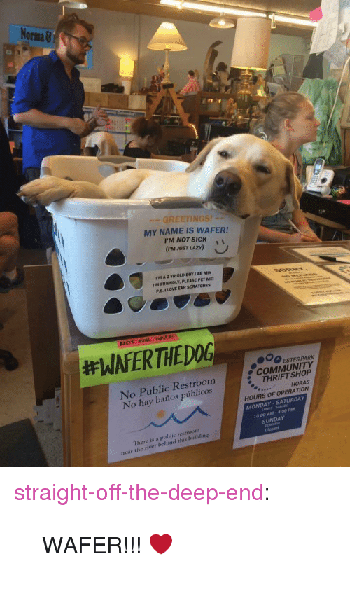"""thrift shop: No  Orma &  GREETINGS!  MY NAME IS WAFER!  I'M NOT SICKi  (rm JUST LAZY)  rM A 2 YR OLD BOY LAB MIX  I'M FRIENDLY, PLEASE PET ME  P.S. I LOVE EAR SCRATCHES  000 ESTES PARK  No Public Restroom  No hay baños públicos  e COMMUNITY  THRIFT SHOP  HORAS  HOURS OF OPERATION  MONDAY-SATURDAY  0:00 AM- 400 PM  There is a public restroonm  near the river behind this building.  SUNDAY <p><a href=""""http://straight-off-the-deep-end.tumblr.com/post/155459723004/wafer"""" class=""""tumblr_blog"""">straight-off-the-deep-end</a>:</p><blockquote><p>WAFER!!! ❤</p></blockquote>"""