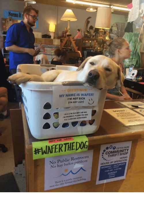 thrift shop: No  Orma &  GREETINGS!  MY NAME IS WAFER!  I'M NOT SICKi  (rm JUST LAZY)  rM A 2 YR OLD BOY LAB MIX  I'M FRIENDLY, PLEASE PET ME  P.S. I LOVE EAR SCRATCHES  000 ESTES PARK  No Public Restroom  No hay baños públicos  e COMMUNITY  THRIFT SHOP  HORAS  HOURS OF OPERATION  MONDAY-SATURDAY  10:00 AM-4.00 PM  SUNDAY  There is a public restroonm  near the river behind this building.