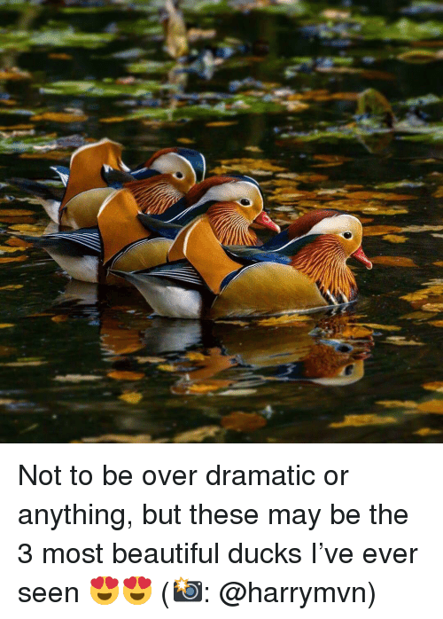 Beautiful, Memes, and Ducks: Not to be over dramatic or anything, but these may be the 3 most beautiful ducks I've ever seen 😍😍 (📸: @harrymvn)