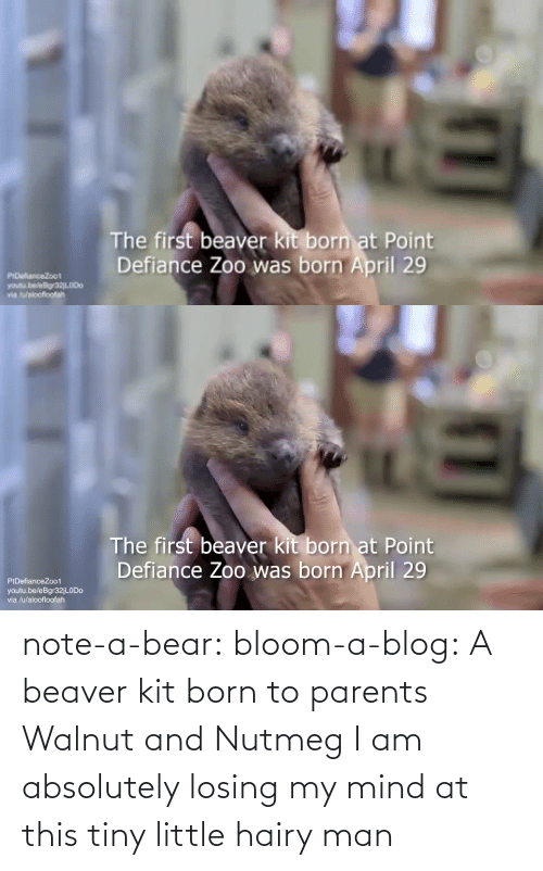 Bear: note-a-bear: bloom-a-blog:  A beaver kit born to parents Walnut and Nutmeg   I am absolutely losing my mind at this tiny little hairy man