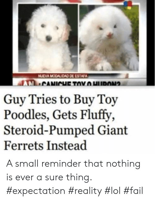 fluffy: NUEVA MODALIDAD DE ESTAFA  CANICHE TOYHURON  Guy Tries to Buy Toy  Poodles, Gets Fluffy  Steroid-Pumped Giant  Ferrets Instead A small reminder that nothing is ever a sure thing. #expectation #reality #lol #fail