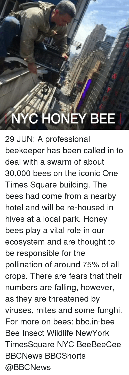 Memes, Hotel, and Square: NYC HONEY BEE 29 JUN: A professional beekeeper has been called in to deal with a swarm of about 30,000 bees on the iconic One Times Square building. The bees had come from a nearby hotel and will be re-housed in hives at a local park. Honey bees play a vital role in our ecosystem and are thought to be responsible for the pollination of around 75% of all crops. There are fears that their numbers are falling, however, as they are threatened by viruses, mites and some funghi. For more on bees: bbc.in-bee Bee Insect Wildlife NewYork TimesSquare NYC BeeBeeCee BBCNews BBCShorts @BBCNews