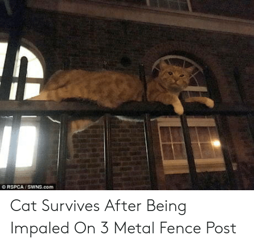 Metal, Cat, and Com: O RSPCA / SWNS.com Cat Survives After Being Impaled On 3 Metal Fence Post