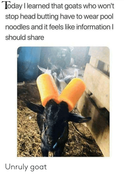 goats: oday I learned that goats who won't  stop head butting have to wear pool  noodles and it feels like information l  should share Unruly goat