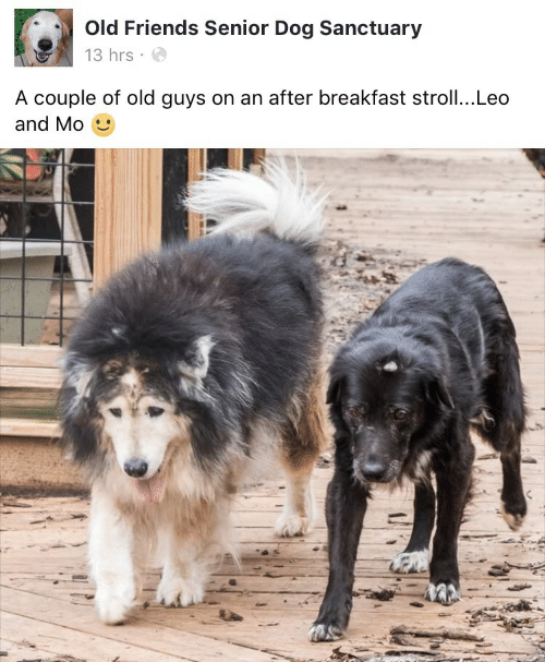 Friends, Breakfast, and Old: Old Friends Senior Dog Sanctuary  13 hrs  A couple of old guys on an after breakfast stroll...Leo  and Mo
