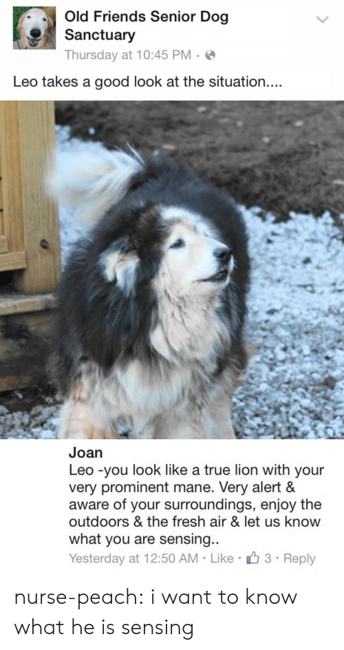 The Outdoors: Old Friends Senior Dog  Sanctuary  Thursday at 10:45 PM  Leo takes a good look at the situation....   Joan  Leo -you look like a true lion with your  very prominent mane. Very alert &  aware of your surroundings, enjoy the  outdoors & the fresh air & let us know  what you are sensing...  3 Reply  Yesterday at 12:50 AM Like nurse-peach:  i want to know what he is sensing