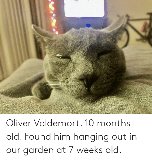 Found Him: Oliver Voldemort. 10 months old. Found him hanging out in our garden at 7 weeks old.