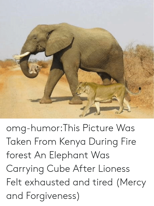 lioness: omg-humor:This Picture Was Taken From Kenya During Fire forest An Elephant Was Carrying Cube After Lioness Felt exhausted and tired (Mercy and Forgiveness)