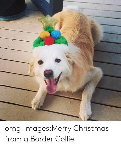 Christmas, Omg, and Tumblr: omg-images:Merry Christmas from a Border Collie
