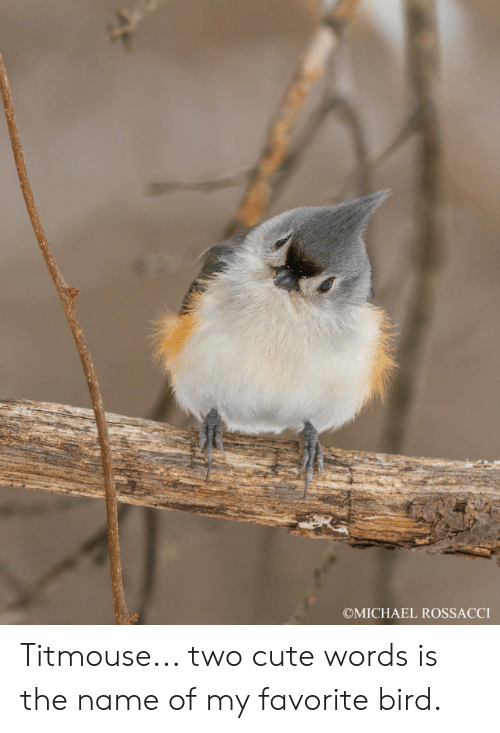 cute words: OMICHAEL ROSSACCI Titmouse... two cute words is the name of my favorite bird.