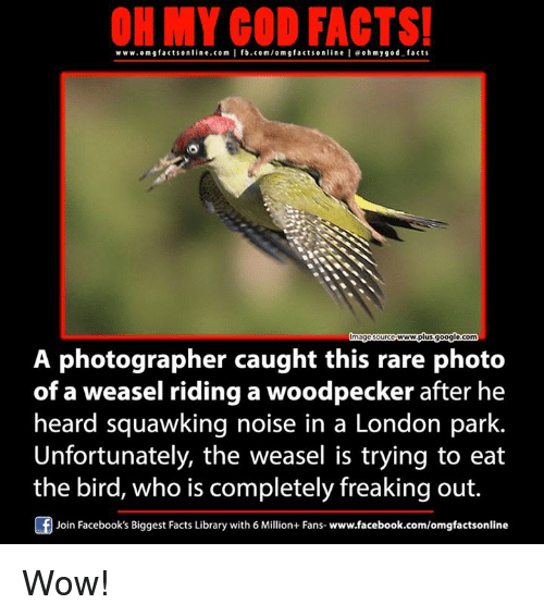 weasels: ON MY GOD FACTS!  www.om g facts online.com I fb.com/orm g facts online I eoh my god facts  A photographer caught this rare photo  of a weasel riding woodpecker after he  heard squawking noise in a London park.  Unfortunately, the weasel is trying to eat  the bird, who is completely freaking out.  Of Join Facebook's Biggest Facts Library with 6 Million+ Fans  www.facebook.com/omgfactsonline Wow!