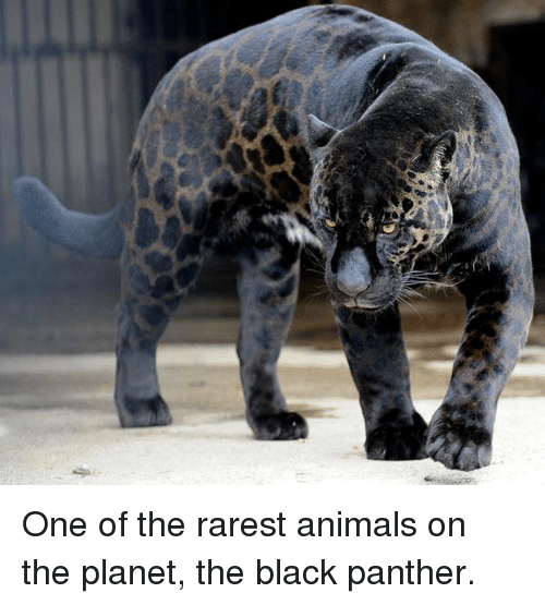 Rarest Animal: One of the rarest animals on the planet, the black panther.