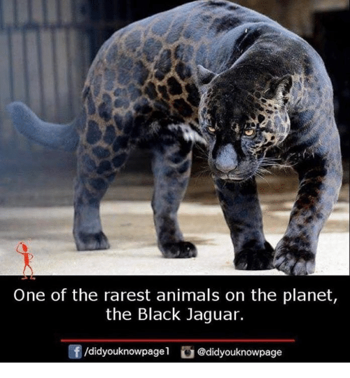 Rarest: One of the rarest animals on the planet  the Black Jaguar.  f/didyouknowpagel@didyouknowpage
