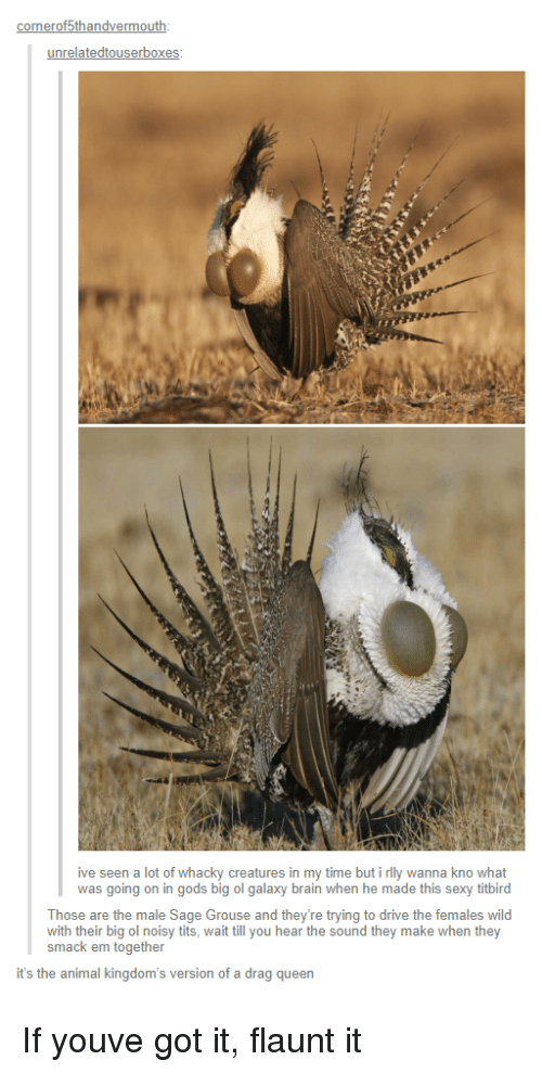 Sexy, Queen, and Animal: onerof5thandvermo  unrelatedtouserbox  ive seen a lot of whacky creatures in my time but i rlly wanna kno what  was going on in gods big ol galaxy brain when he made this sexy titbird  Those are the male Sage Grouse and they're trying to drive the females wild  with their big ol noisy tits, wait till you hear the sound they make when they  smack em together  it's the animal kingdom's version of a drag queen If youve got it, flaunt it