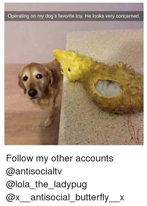 Dogs, Memes, and Butterfly: Operating on my dog's favorite toy. He looks very concerned. Follow my other accounts @antisocialtv @lola_the_ladypug @x__antisocial_butterfly__x