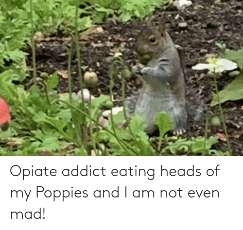Poppies: Opiate addict eating heads of my Poppies and I am not even mad!