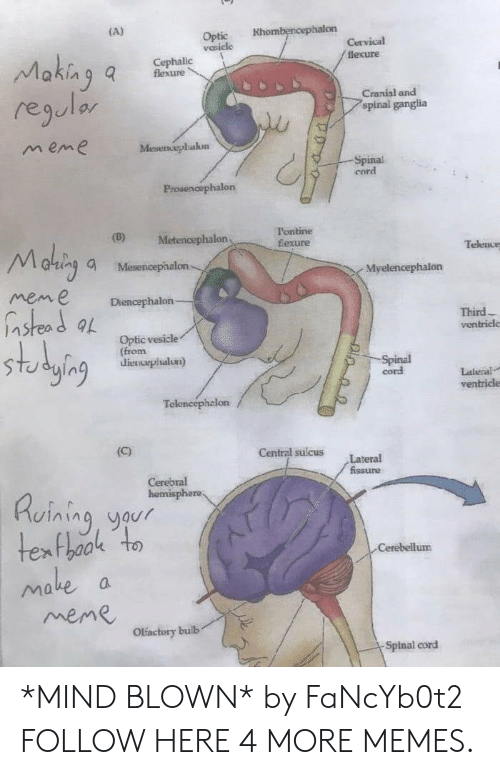 lateral: Optic Khombencephalon  vesicle  lexure  flexure  regulor  m eme  Cranial and  spinal ganglia  Mesenephakon  Spinal  cord  Prosenoephalon  (D) Metencephalon  Tontine  fexure  altin, a Mesencephalon  mene Diencephalon  Telence  Myelencephalon  nstead a  Third  ventricle  Optic vesicle  (from  dienvepiualun)  ging a  cord  Lateral  ventricle  Central sulcus Lateral  Ruining yaur  Cerebellum  ake  meme  Olactory builb  Spinal cord *MIND BLOWN* by FaNcYb0t2 FOLLOW HERE 4 MORE MEMES.