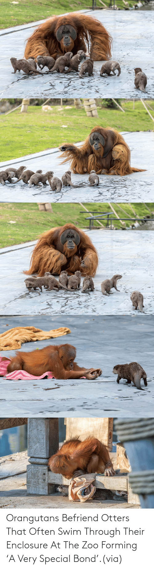 swim: Orangutans Befriend Otters That Often Swim Through Their Enclosure At The Zoo Forming 'A Very Special Bond'.(via)