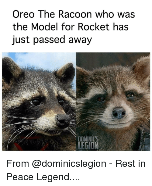 Memes, Peace, and 🤖: Oreo The Racoon who was  the Model for Rocket has  just passed away  DOMINIC'S From @dominicslegion - Rest in Peace Legend....