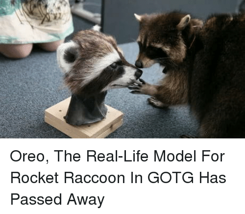 Life, Raccoon, and The Real: Oreo, The Real-Life Model For Rocket Raccoon In GOTG Has Passed Away