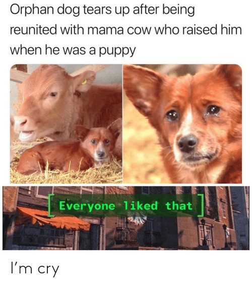Reunited: Orphan dog tears up after being  reunited with mama cow who raised him  when he was a puppy  Everyone 1iked that I'm cry