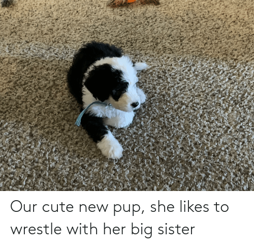 wrestle: Our cute new pup, she likes to wrestle with her big sister