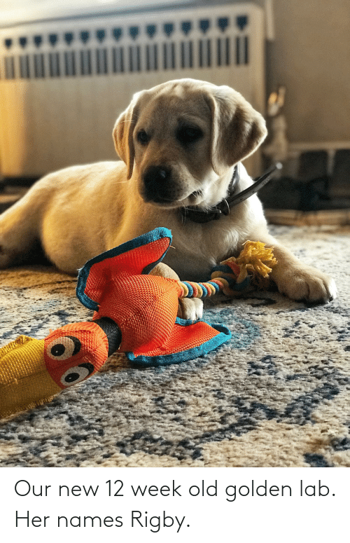 rigby: Our new 12 week old golden lab. Her names Rigby.