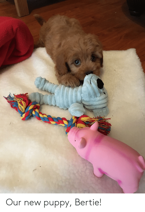 Puppy, New, and New-Puppy: Our new puppy, Bertie!