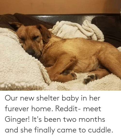 ginger: Our new shelter baby in her furever home. Reddit- meet Ginger! It's been two months and she finally came to cuddle.