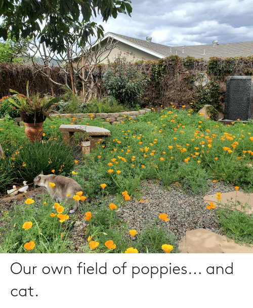 Poppies: Our own field of poppies... and cat.