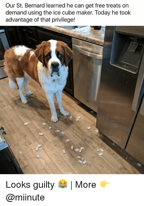 Funny, Ice Cube, and Free: Our St. Bernard learned he can get free treats on  demand using the ice cube maker. Today he took  advantage of that privilege! Looks guilty 😂 | More 👉 @miinute