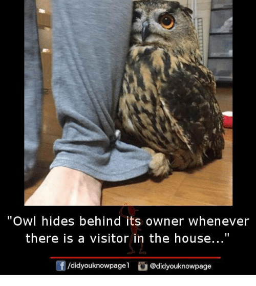 "Owling: Owl hides behind its owner whenever  there is a visitor in the house...""  ㄥ  /didyouknowpagel"
