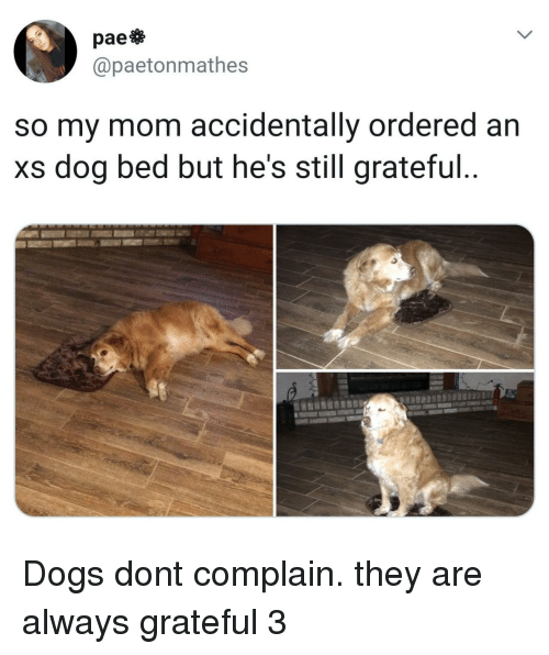 Dogs, Mom, and Dog: pae  @paetonmathes  so my mom accidentally ordered an  xs dog bed but he's still grateful Dogs dont complain. they are always grateful 3