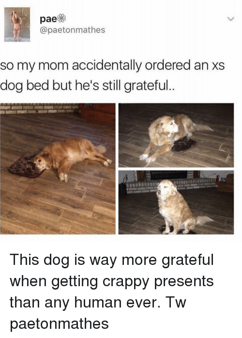 Memes, Mom, and 🤖: @paetonmathes  so my mom accidentally ordered an xs  dog bed but he's still grateful This dog is way more grateful when getting crappy presents than any human ever. Tw paetonmathes